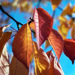 Cherry tree fall leaves 1
