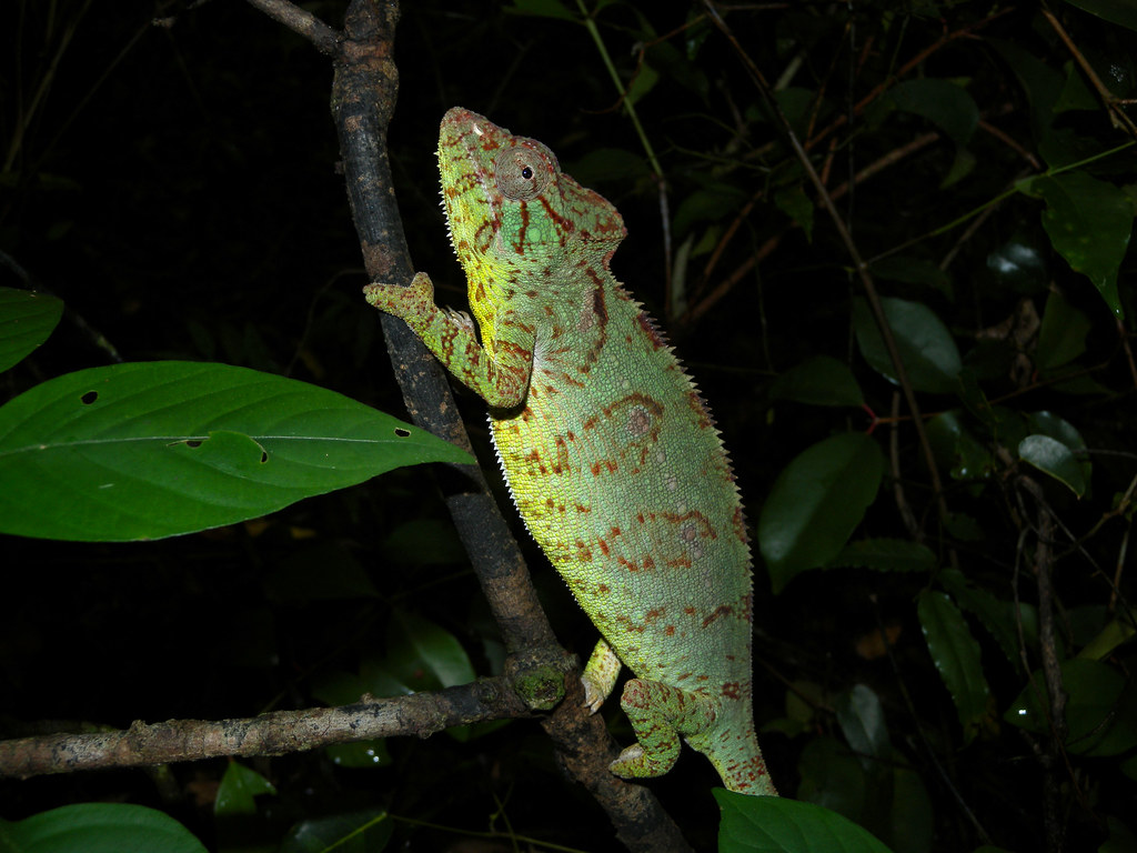 Oustalet's Chameleon (Furcifer oustaleti by Frank.Vassen, on Flickr