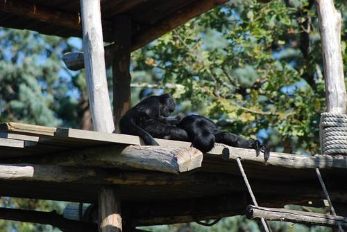 Braunkopfklammeraffe im Zoo de La Flèche