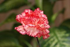 Dianthus caryophyllus - Garoafa