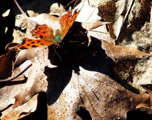 eastern comma butterfly