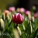 Solo puede quedar un tulipán