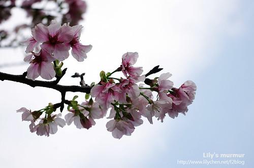 半謝的美麗櫻花...