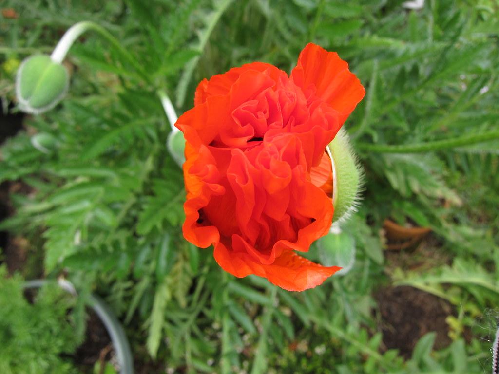 Oriental poppy opening up