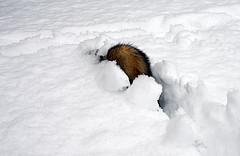 Dexter Ferret in the Snow
