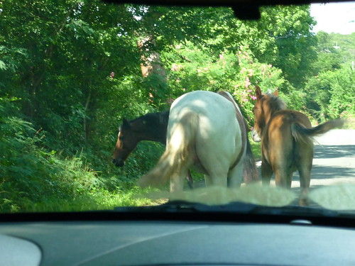 """Wild"" horses on the road in Vieques"