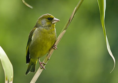Greenfinch on bamboo