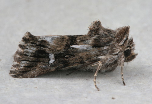 10177 - Calophasia lunula - Toadflax Brocade (2)