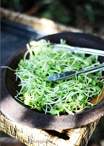 fresh sunflower sprouts