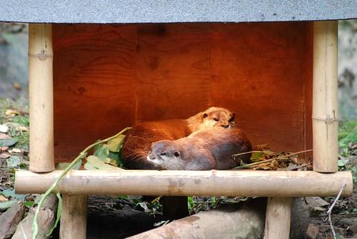 Kurzkrallenotter im Zooparc de Trégomeur
