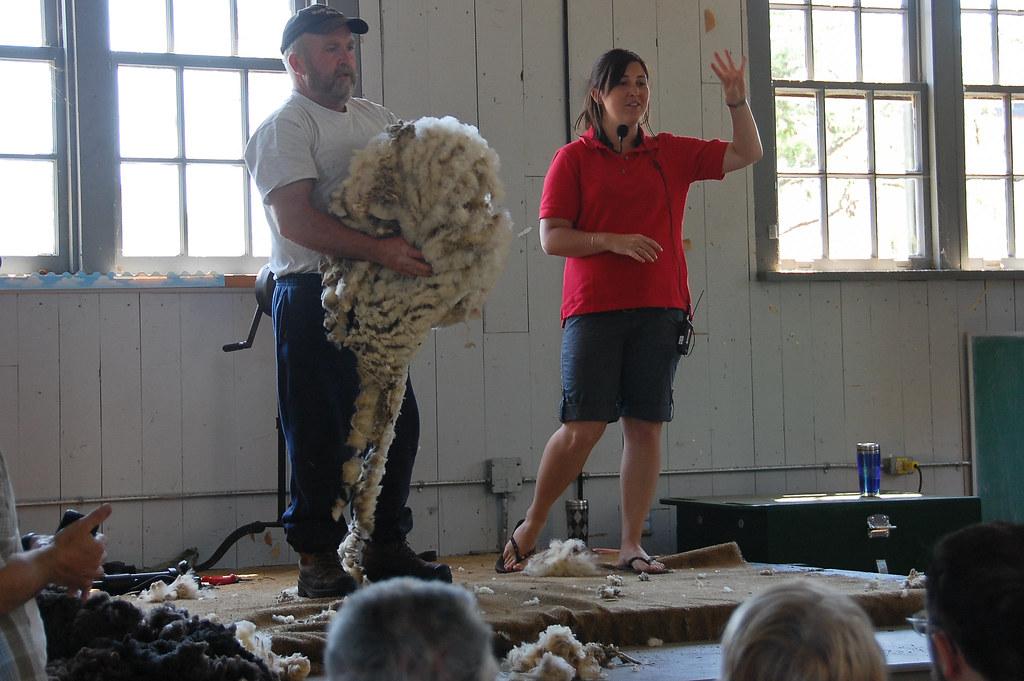 sheep shearing-42