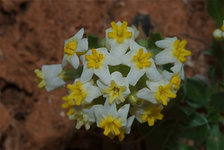 Unknown wildflower, southern Utah