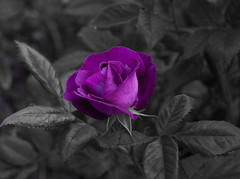 Purple Rose (Blank Background)