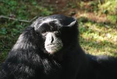 Siamang im Zoo de Doué-la-Fontaine
