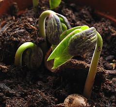 bean seedlings    03053