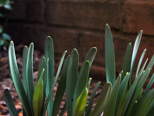 Daffodil 032010f