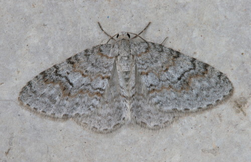 7428 - Venusia comptaria - Brown-shaded Carpet (3)