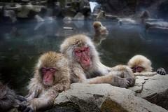 Sleeping Snow Monkeys