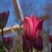 El tulipán y el molino de viento