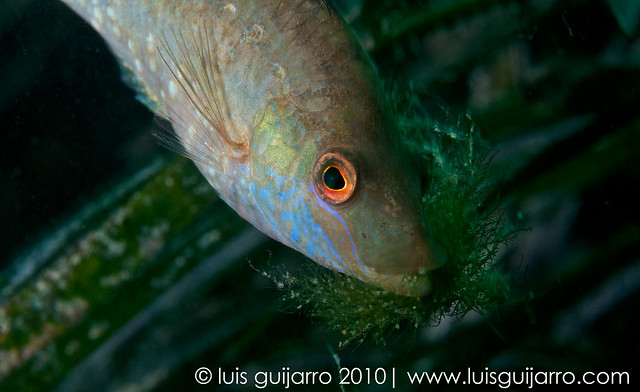 Grey Wrasse Nest Building-12/365