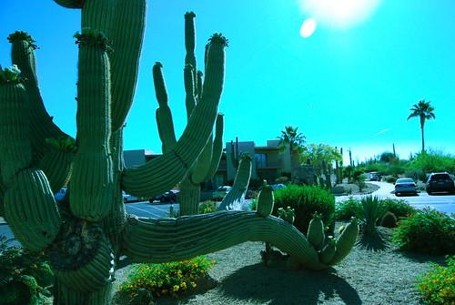 Saguro cactus