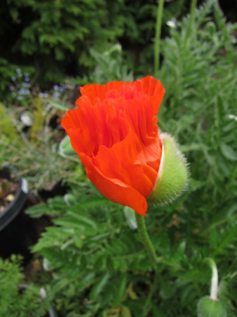 Oriental poppy starting to unfurl