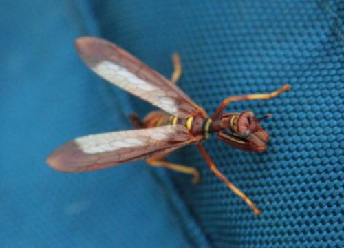 Wasp Mantisfly, Climaciella brunnea
