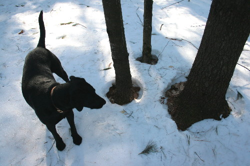 Snow melt around tree bases