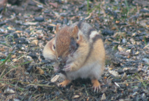 Eastern Chipmunk with facial injury