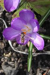 Marmalade Hoverfly (Episyrphus balteatus) female