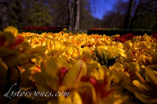 Sobre la superficie de los tulipanes