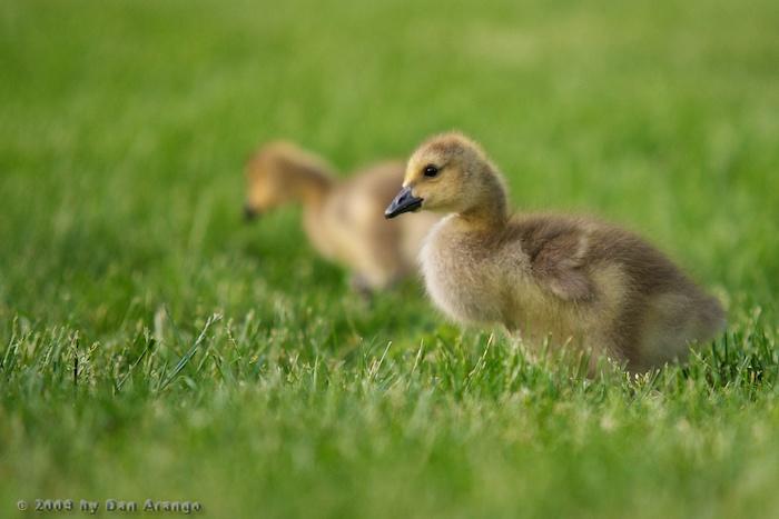 Fuzzy Gosling