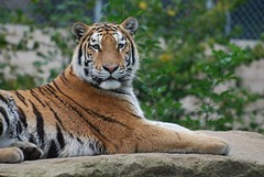 Sibirischer Tiger im Zooparc de Trégomeur
