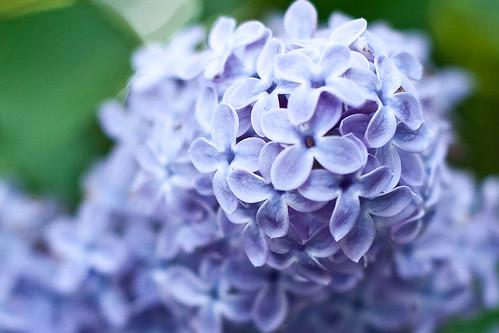 138/365 | lilacs (detail)