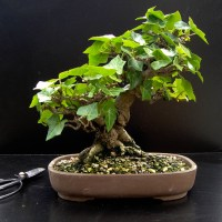 Jerry Norbury's Shohin Bonsai