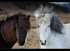 Good Hair Bad Hair - Horses at Kirkjubæjarklaustur, Iceland by orvaratli