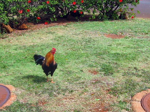 we watched this rooster taking a bath in a sprinkler later.