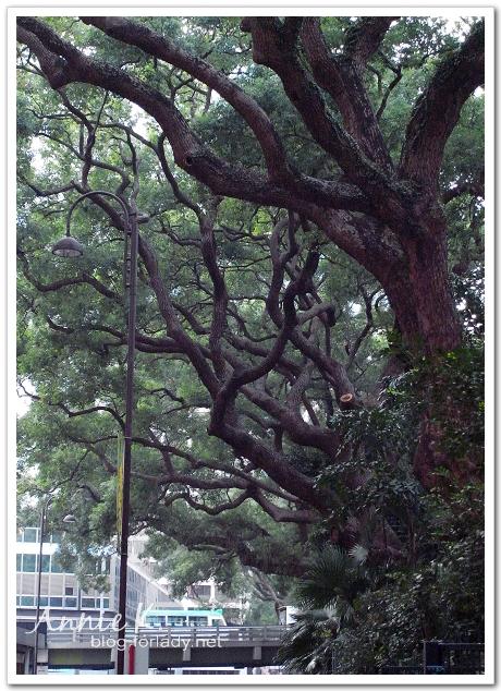 香港老樟樹