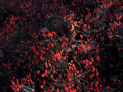 huckleberry foliage