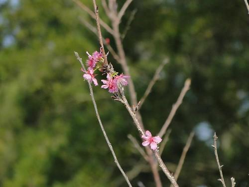 十二月的山櫻花