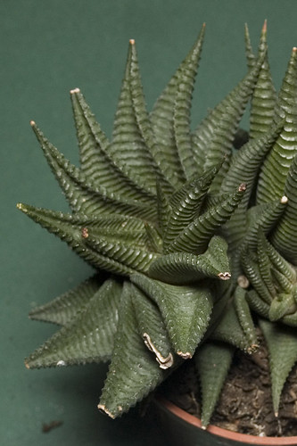 haworthia limifolia var. limifolia