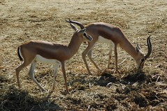 Dorkasgazellen im Zoo de Doué-la-Fontaine