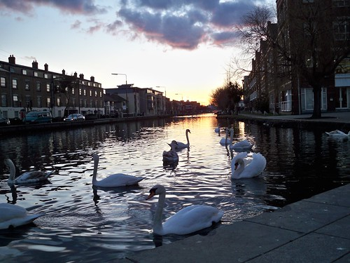 swans on the Grand Canal near Portobello at sunset 5