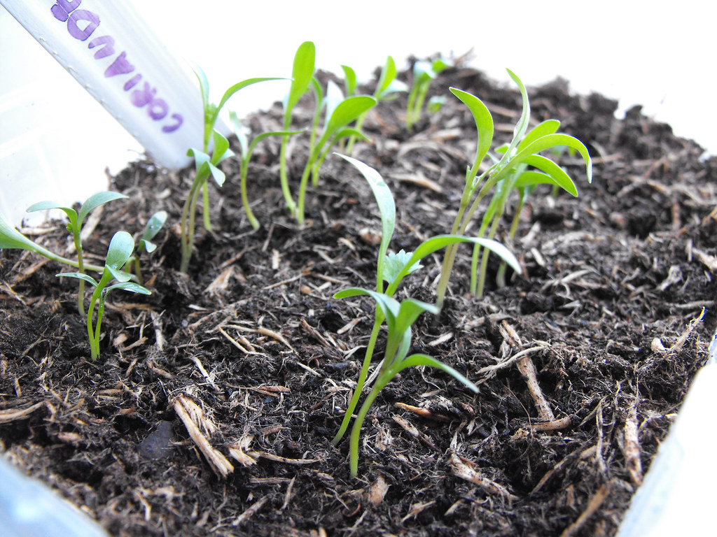 Coriander Seedlings