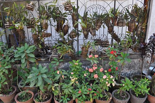 Hanging Orchids in Luang Prabang