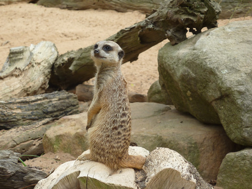 Meerkat thinks: Whatchalookinat?!