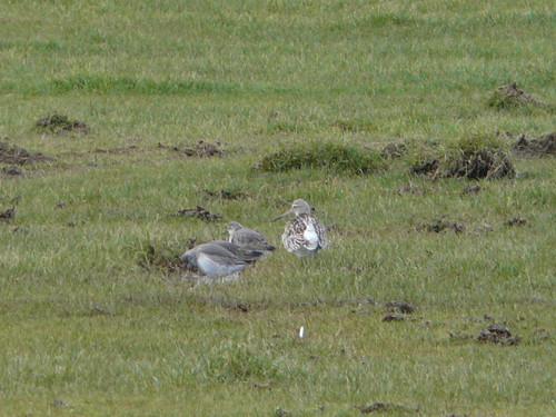 Knots and Bar-tailed Godwit