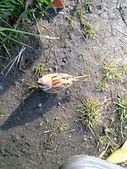 青山公園のスズメ(Sparrow at Aoyama park, Japan)