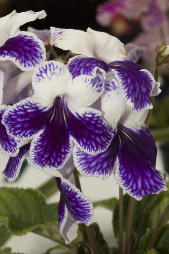 Streptocarpus 'Purple Panda'