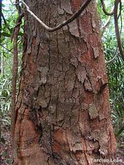 Parkia pendula, Visgueiro (Tarciso Leo) Tags: fabaceae Parkia parkiapendula taxonomia: binomial = parkiapendula